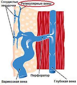 Ретикулярные вены