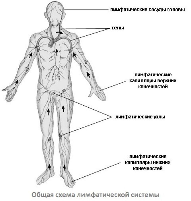 Схема лимфоузлов на ногах