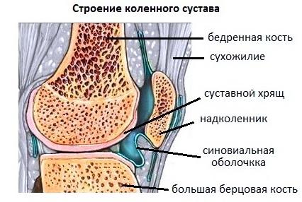 Строение сустава