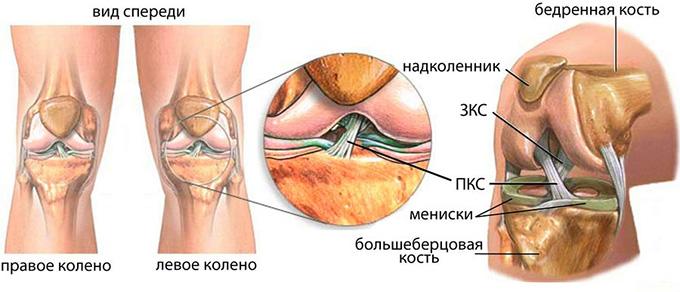 Анатомия крестообразной связки