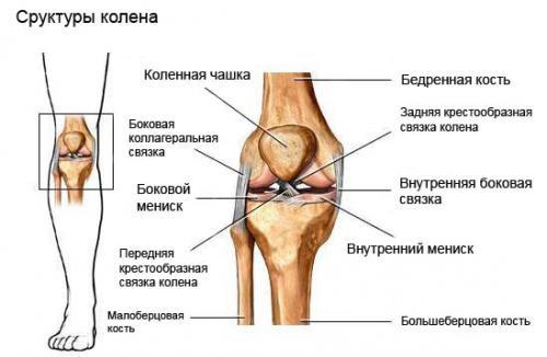 Структура коленного сустава