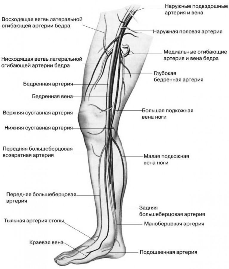 Строение ног человека схема