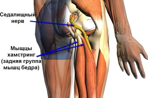 Нерв в зоне тазобедренного сустава